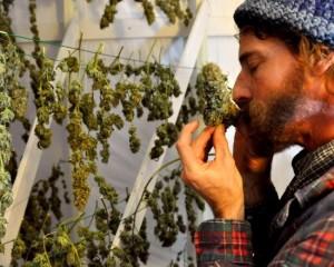 Marijuana business law firm